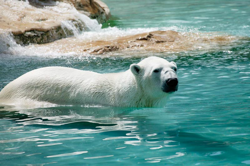 Zoo d'Amneville - Animaux - Ours Polaire