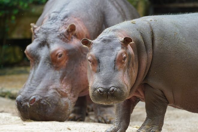 hippo-bulma-mara