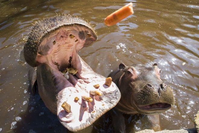 bulma-mara-animation_hippopotames_adrien-farese_23.04.21_1