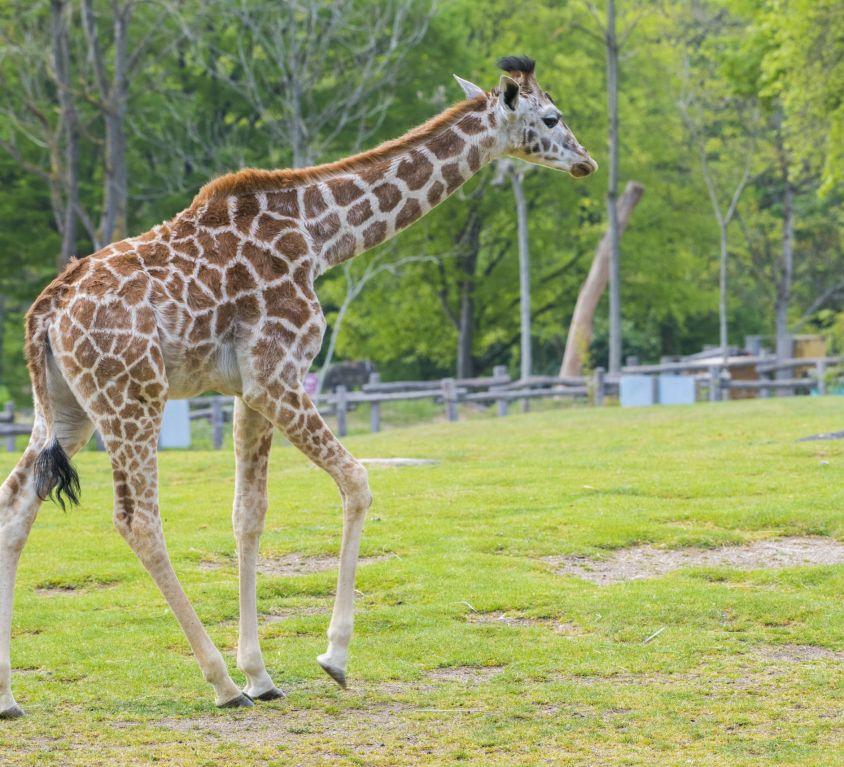 promenade-gisele_girafe_adrien-farese_29.04.21