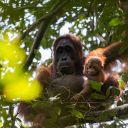 Gracia and new infant Gara (4) - Sabangau Forest - Pau Brugues Sintes -2016