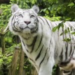 Zoo d'Amneville - Animaux - Tigre Blanc