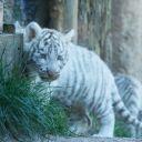Zoo d'Amneville - Bébé tigre blanc