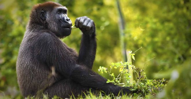 Zoo d'Amneville - Animaux - Gorille