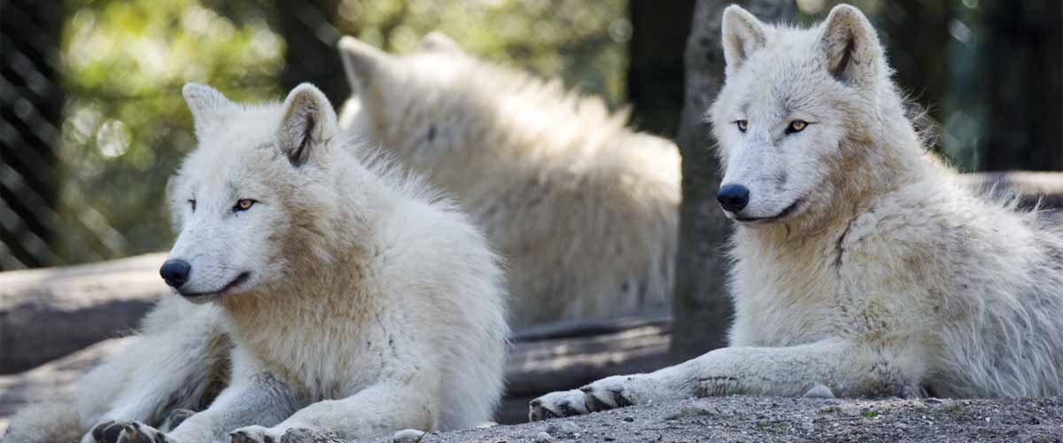 Zoo d'Amneville - Animaux - Loups