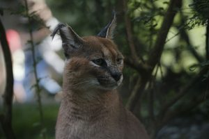 Zoo d'Amneville - Animaux - Caracal