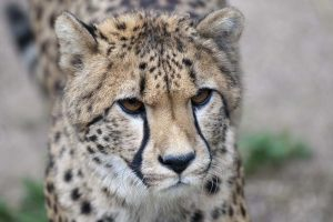 Zoo d'Amneville - Animaux - Guepard