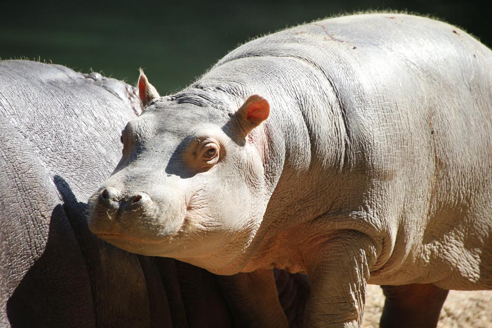 Zoo d'Amneville - Animaux - Hippopotame