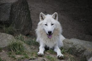 Zoo d'Amneville - Animaux - Loup