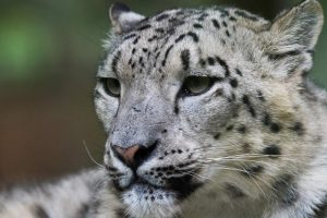 Zoo d'Amneville - Animaux - Panthere neige