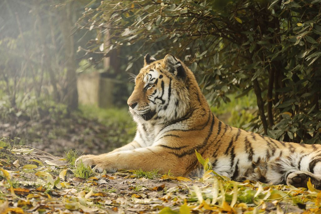 Zoo d'Amneville - Animaux -Tigre