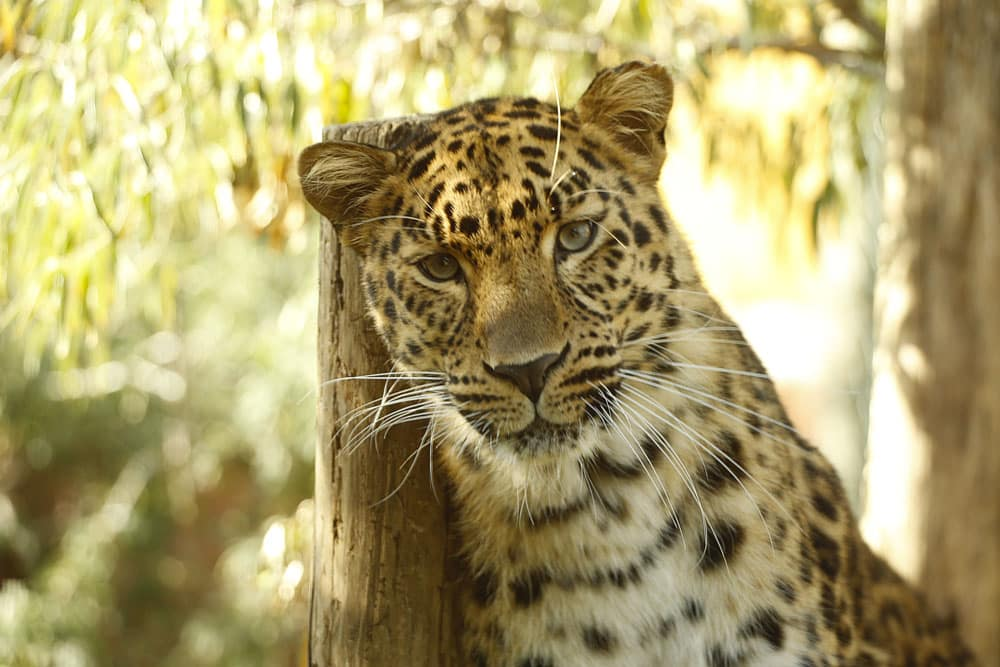 Zoo d'Amneville - Animaux - Leopard