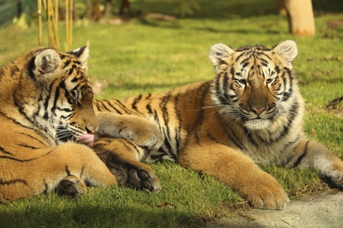 Zoo d'Amneville - Animaux - Tigre
